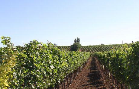 Weingut Lunzer Weingarten